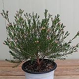 (단품)왁스플라워 외목대 대품|Echeveria agavoides Wax