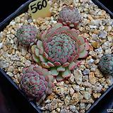 글로블로사 560 (빈센토카토) Echeveria globulosa