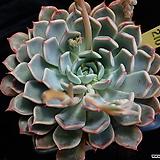 핑크자라고사 210 Echeveria mexensis Zaragosa