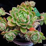 라즈아가 17 (자연군생한몸) Echeveria agavoides sp