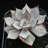 스트릭티플로라 v.노바 자구 (Echeveria strictiflora v. nova, offset) Echeveria Derenceana (lola)