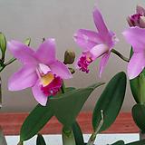 카틀레야(사쿠라캔디).색감예쁨.여성스러운꽃.꽃대있습니다.|