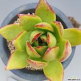 그린스완|Echeveria agavoides cv Green Swan