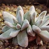 화이트그리니 4997|Dudleya White gnoma(White greenii / White sprite)