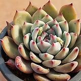 원종콜로라타 중품 5023|Echeveria colorata