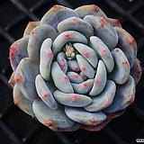 성영_o21|Echeveria elegans Potosina