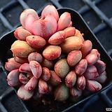 아메트롬_p29|Graptoveria Ametum