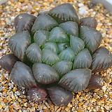 블랙옵튜샤(A039)|Haworthia cymbiformis var. obtusa