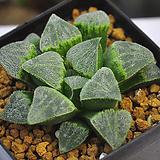 피그마에아(A046)|Haworthia pygmaea