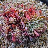 원종자라고사철화군생413|Echeveria mexensis Zaragosa