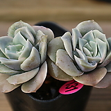 러블리로즈2개셋트(131.132) Lovely Rose