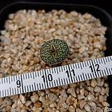 위트버젠스 당초문(Conophytum minimum wittebergense Karakusa 1H, ex.Japan) Conophytum Wittebergense