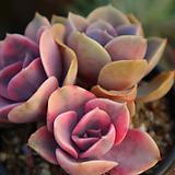 웨스트레인보우|Echeveria rainbow