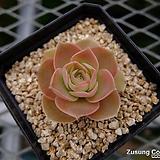 켈리코사(원종) (Echeveria calycosa, original species, ex. Myron Kimnach)