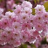 일본벚꽃|