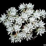 화이트그리니(자연군생) 30-121|Dudleya White gnoma(White greenii / White sprite)