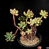 을녀심 30-145|sedum pachyphyllum