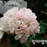 랄라별에(제라늄)|Geranium/Pelargonium