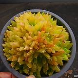 경화금묵은대품 1023-2650|Haworthia cymbiformis f. variegata