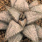 실버타란튤라 자구 (Haworthia koelmaniorum cv. Silver Tarantula) 
