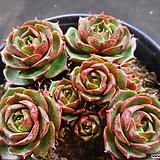 환엽롱기시마 1023-853|Echeveria longissima
