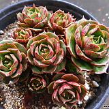 환엽롱기시마 1023-2566|Echeveria longissima