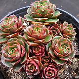 환엽롱기시마 1023-718|Echeveria longissima