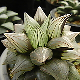 ISI 아트로푸스카 뮤턴트 자구 중묘 (Haworthia ISI atrofusca Mutant, natural offset) 