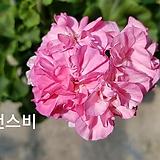 팬스비(제라늄)|Geranium/Pelargonium