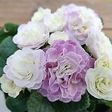 아이스핑크 발레리나앵초/꽃대가득|