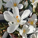 크로커스 흰꽃|