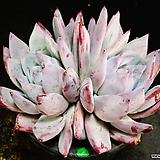 야생콜로라타1 Echeveria colorata