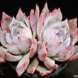 야생콜로라타2 Echeveria colorata