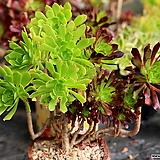 흑법사+청법사 한몸|Aeonium arboreum var. atropurpureum