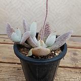 백토이|Kalanchoe eriophylla