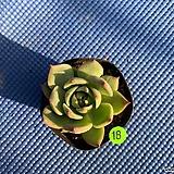 치와와린제|Eeveria chihuahuaensis