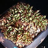 묵은둥이 야생마리아철화 1|Echeveria agavoides Maria