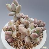 클라우쿰|Pachyphytum compactum var. glaucum