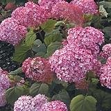 매직컬핑커벨(Magical Pinkerbell)-아나벨수국 Hydrangea macrophylla