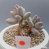 클라우쿰 sp|Pachyphytum compactum var. glaucum