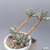 클라우쿰sp|Pachyphytum compactum var. glaucum