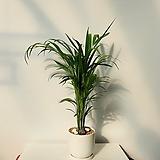 아래카야자 세라믹 완성화분 높이70cm 색상 화이트,그레이 탁상용 식물|