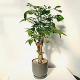 녹보수 세라믹 완성화분 높이70cm 색상 그레이,화이트|happy tree