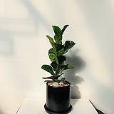 떡갈고무나무 세라믹 완성화분 길이 70cm 색상 화이트,블랙|Ficus elastica