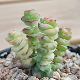 루페스트리금70|Crassula perforata