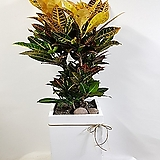 크로톤 흰색시멘트형 거실화분 (대형)|Codiaeum Variegatum Blume Var Hookerianum