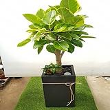 뱅갈고무나무 검은시멘트화분 Ficus elastica