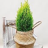 율마(포트) + 라탄바구니 (세트)  인테리어식물 개업선물