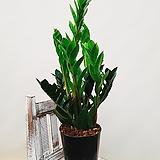 금전수 돈들어오는식물 개업선물|Zamioculcas zamiifolia