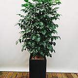 신종녹보수 (시멘트사각완성분) 대품 大 개업선물 신혼집인테리어 공기정화식물|happy tree